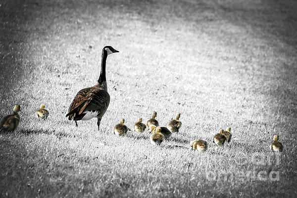 Goose Photograph - Mother Goose by Elena Elisseeva