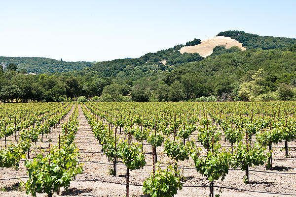 Napa Vineyard With Hills Photograph