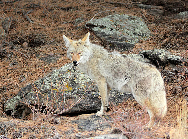 Coyote Photograph - On The Prowl by Shane Bechler