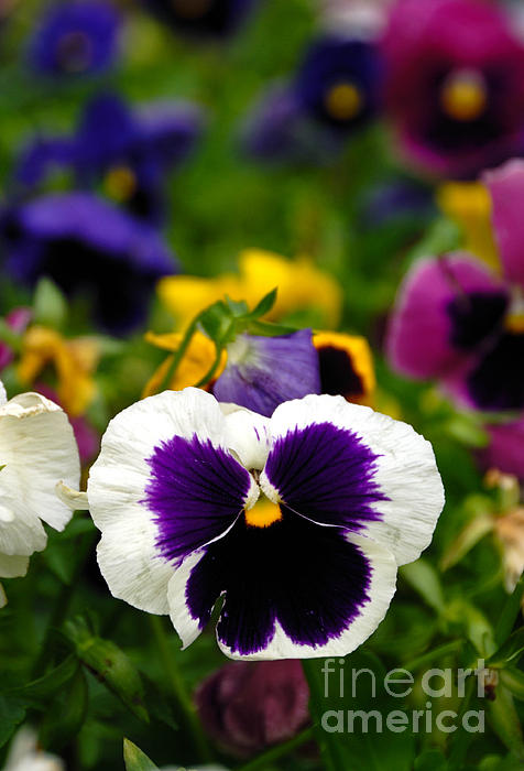 Colorful Photograph - Pansies by Amy Cicconi