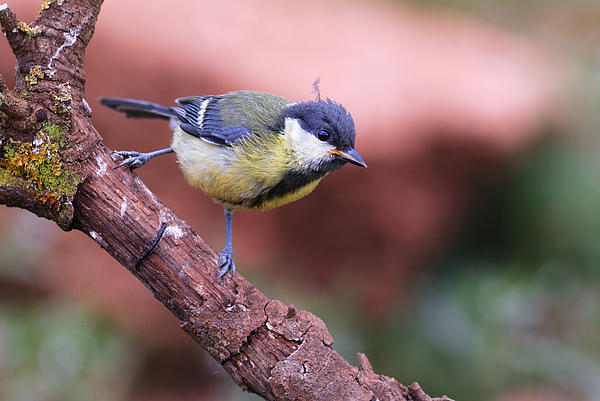 Guido Montanes Castillo - Parus major