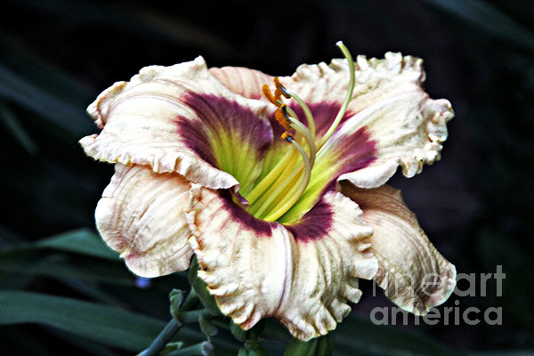 Peachy With Ruffles Lily Photograph  - Peachy With Ruffles Lily Fine Art Print