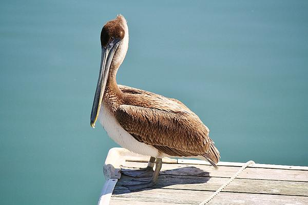 Pelican Photograph - Pelican - Sitting On The Dock Of The Bay by Paulette Thomas