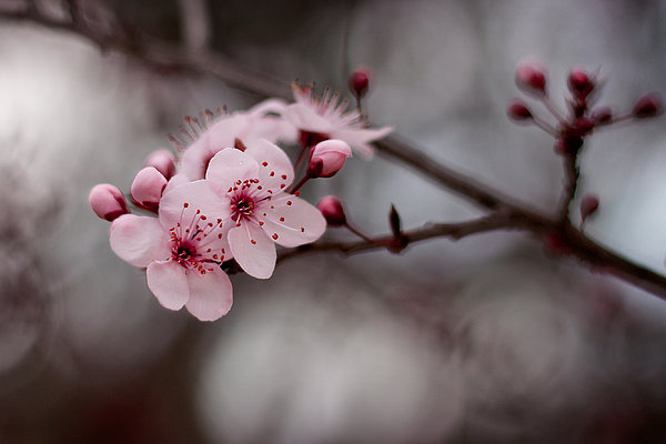 Pink Blossoms Photograph  - Pink Blossoms Fine Art Print