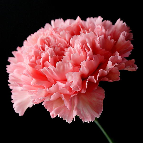Lynne Dymond - Pink Carnation Flower on Black
