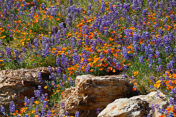Lynn Bauer - Poppies and Lupines on the Rocks