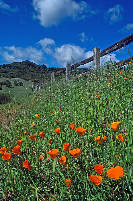 Landscapes Photograph - Poppies And The Fence by Kathy Yates