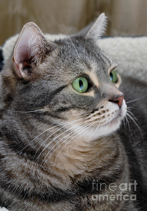 American Shorthair Photograph - Portrait Of An Ameriican Shorthair Cat by Amy Cicconi