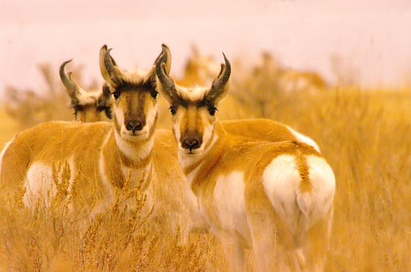 Pronghorns Staring Photograph  - Pronghorns Staring Fine Art Print