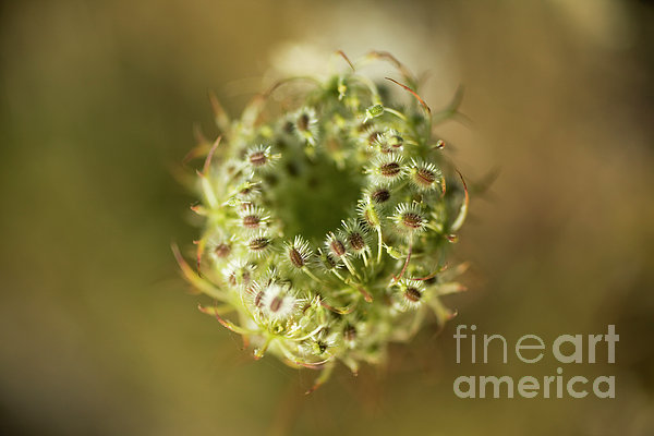 Oregon Photograph - Queen Annes Lace Going To Seed by Charmian Vistaunet