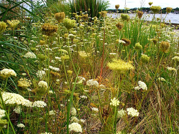 Queen Annes  Lace Riverfront  Photograph