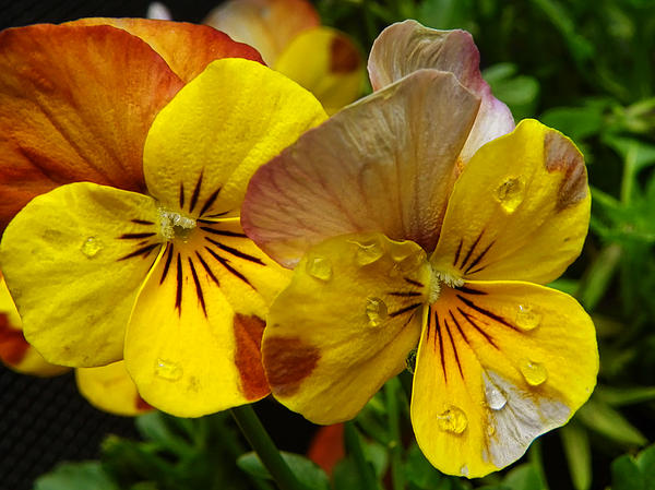 Pamela Phelps - Raindrops on Violas