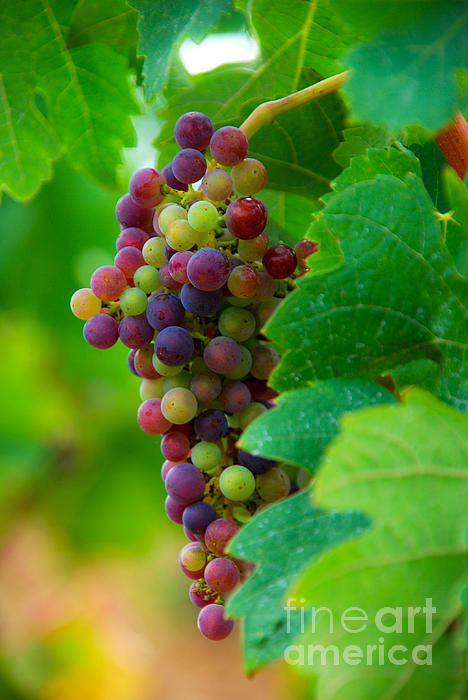 Bordeaux Photograph - Red Grapes by Hannes Cmarits