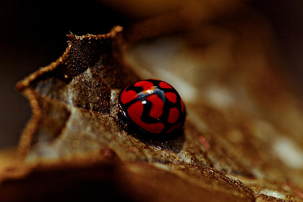 Red Lady Bug Photograph  - Red Lady Bug Fine Art Print