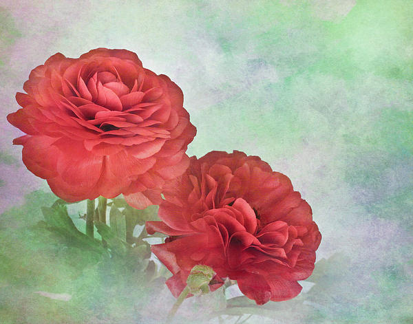 Bloom Photograph - Red Ranunculus by David and Carol Kelly