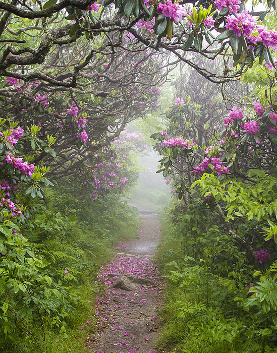 Bill Swindaman - Rhododendron Time in North Carolina