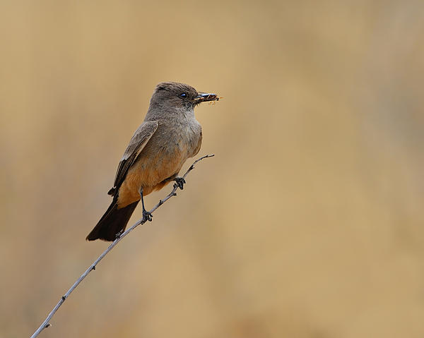 Say's Phoebe Photograph - Says Phoebe by Tony Beck