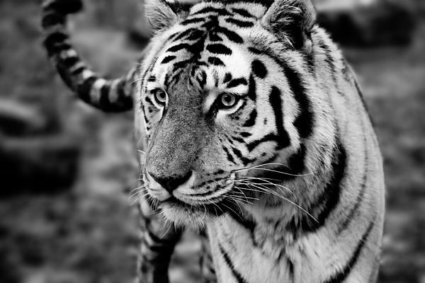 Amur Tiger Photograph - Siberian Tiger Monochrome by Semmick Photo