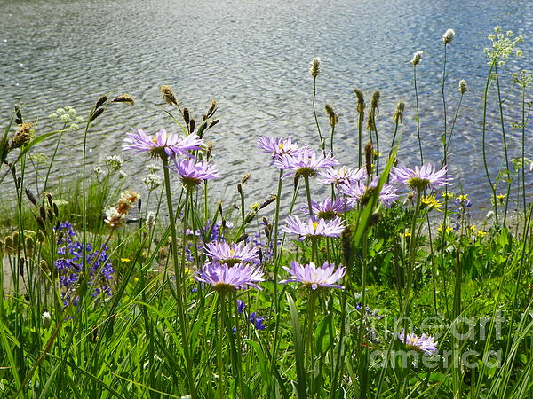 Photography Moments - Sandi - Silence of the Serene Field of Wildflowers - Mount Rainier National Park