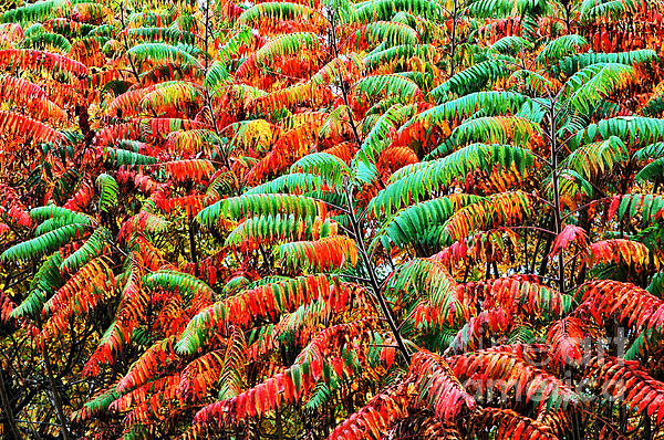 Smooth Sumac Photograph - Smooth Sumac Fall Color by Thomas R Fletcher