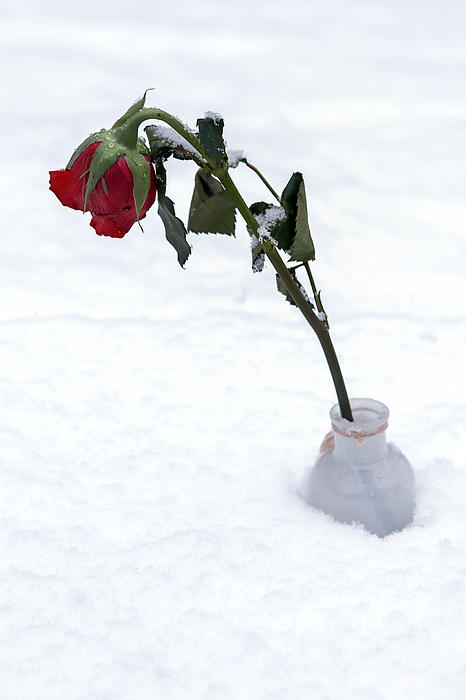 Red Photograph - Snow-covered Rose by Joana Kruse