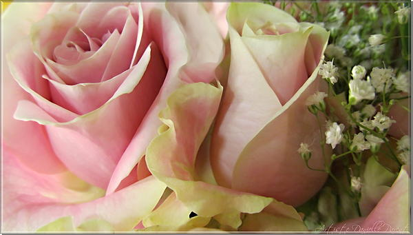 Spring Photograph - Spring Romance Pink Roses by Danielle  Parent