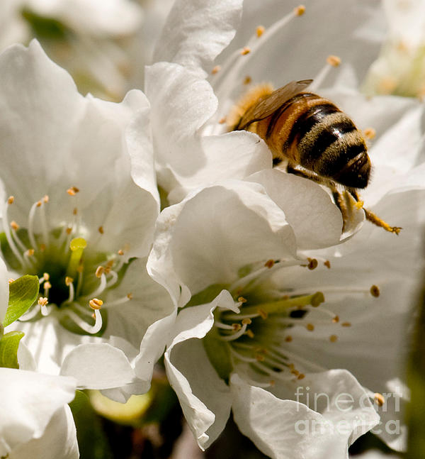 Bee Photograph - Spring Time Cherry Blossoms by Artist and Photographer Laura Wrede