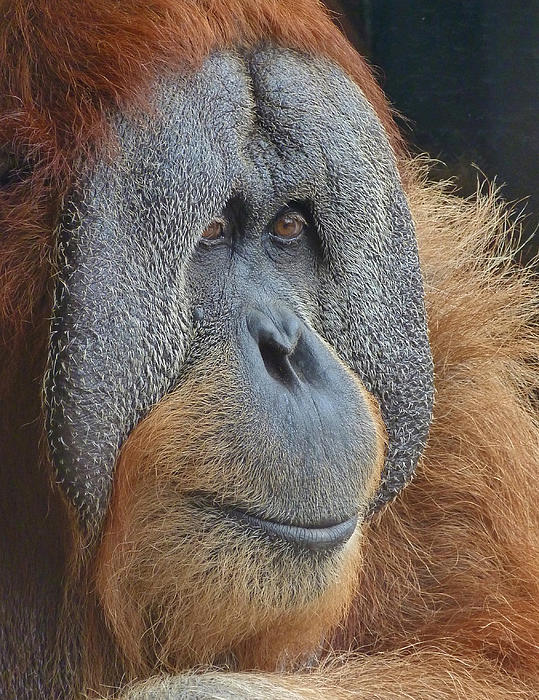 Margaret Saheed - Sumatran Orang-utan Deep In Thought