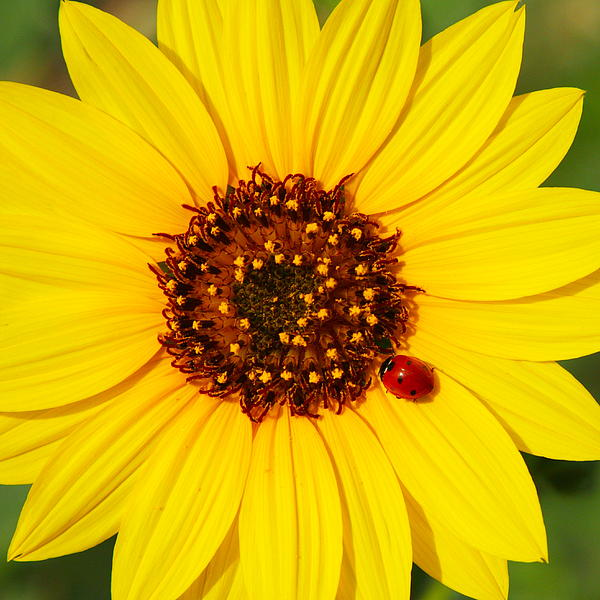 Andrew McInnes - Sunflower and Ladybird Beetle 2AM-110490
