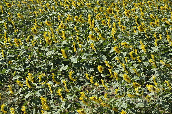 Agriculture Photograph - Sunflowers In Chianti by Sami Sarkis