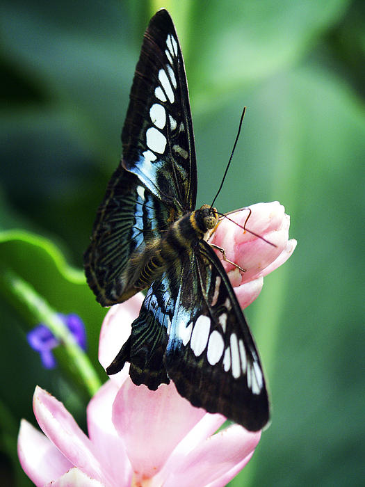 Swallowtail Photograph - Swallowtail Butterfly by Marilyn Hunt