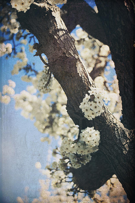 Blossoms Photograph - That March by Laurie Search