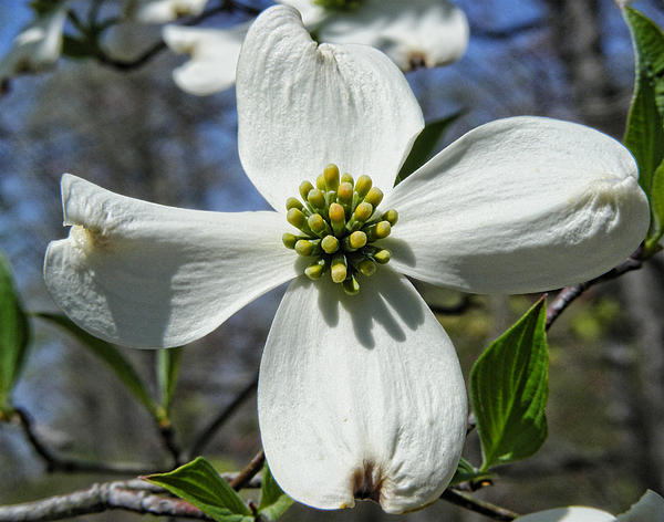 Byron Snider - The Beautiful Dogwood