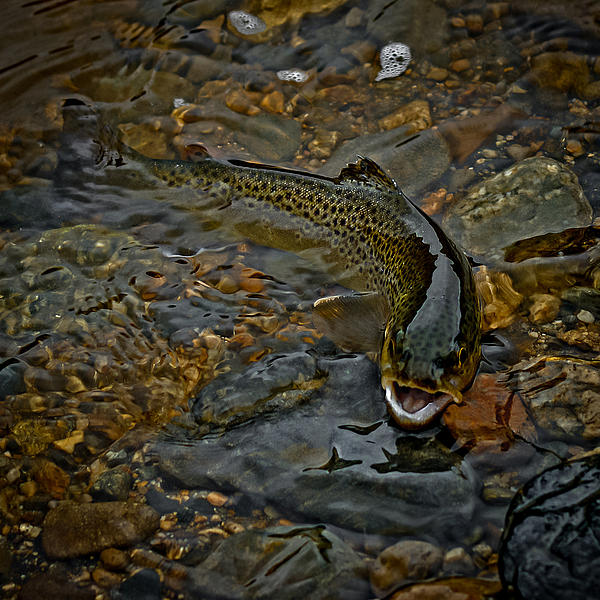 The Brown Trout Print by Ernie Echols
