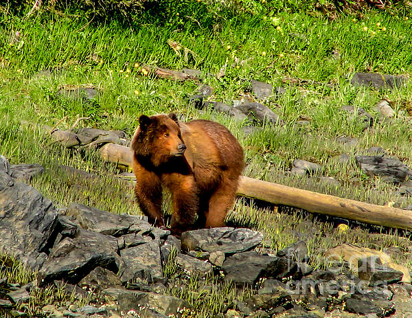 Bear Photograph - The Grizzly by Robert Bales