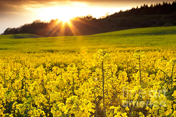 Yellow  Photograph - The Yellow Rapeseed Field Beautiful by Boon Mee