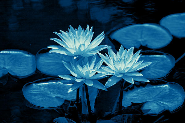 Fine Art Photograph - Three Water Lilies In Cyan by Linda Phelps