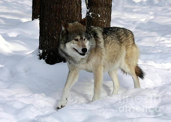 Inspired Nature Photography By Shelley Myke - Timber Wolf in a Winter Snow Storm