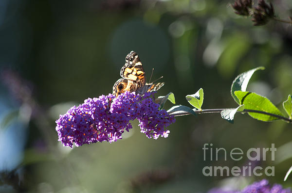 Butterfly Photograph - Touchdown by Affini Woodley
