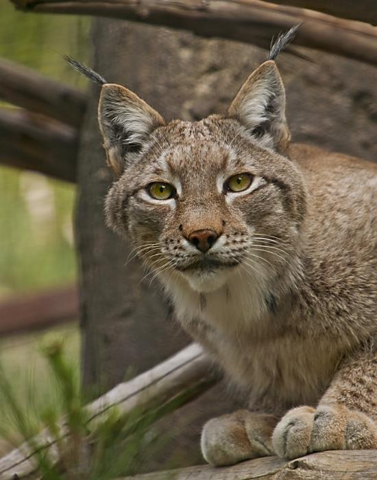 black singles in lynx What's the difference between a bobcat and a lynx  belongs to a single species called homo sapiens  happens to be the lynx genus.