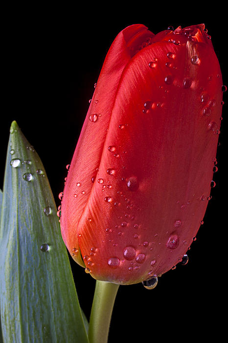 Orange Photograph - Tulip Close Up by Garry Gay