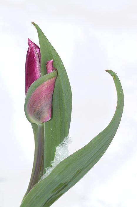 Tulip In The Snow Photograph  - Tulip In The Snow Fine Art Print