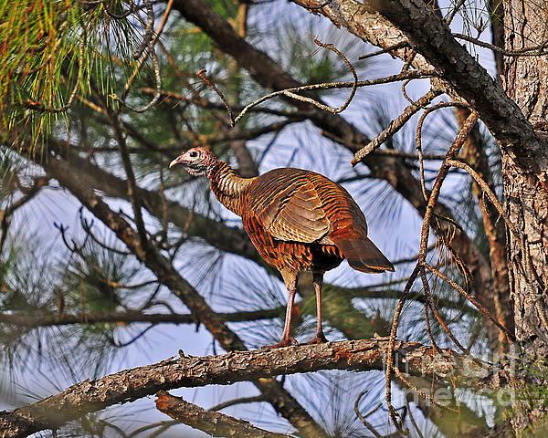 Turkey Photograph - Turkey In A Tree by Al Powell Photography USA