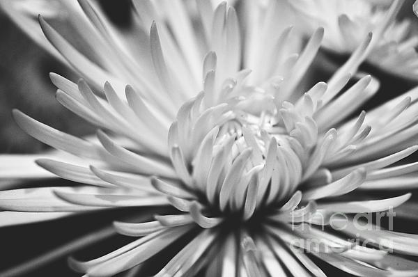 Flower Picture Photograph - Unfolding by Artist and Photographer Laura Wrede