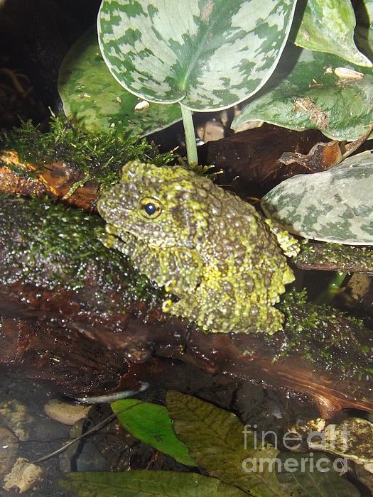 Frog Photograph - Vietnamese Mossy Frog by Sara  Raber