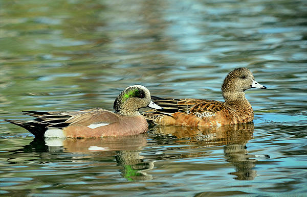 American Wigeons Photograph - Watercolors In Nature by Fraida Gutovich