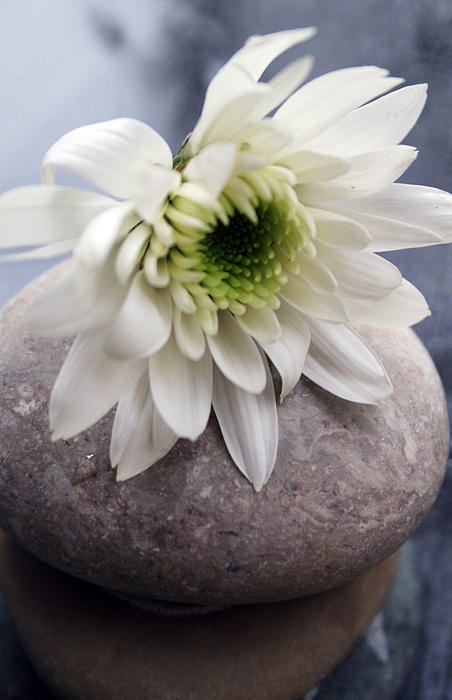 White Blossom On Rocks Photograph
