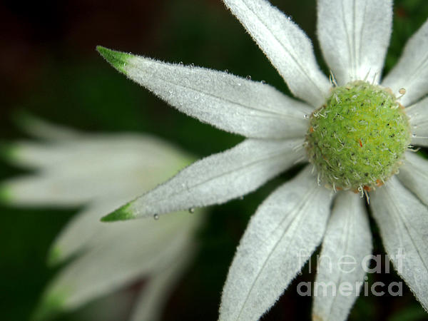 Life Photograph - White Flannel Flowers by Kaleidoscopik Photography