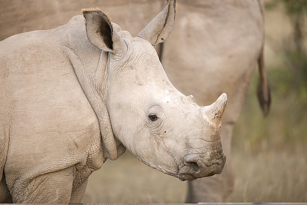 White Rhinoceros Calf Photograph