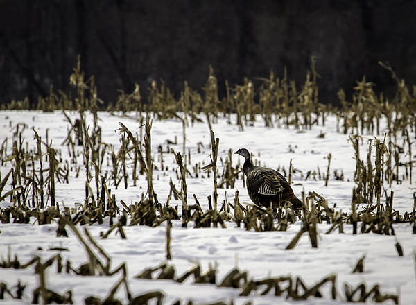 Wild Turkey (meleagris Gallopavo) Photograph - Wild Turkey In The Corn by Thomas Young